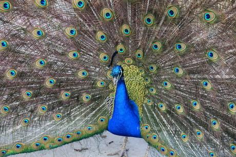 peacock in closeupの素材 [FYI00837990]