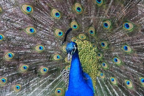 peacock in closeupの素材 [FYI00838023]