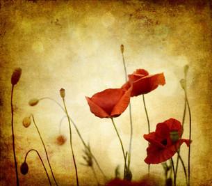 red retro poppies on light textureの素材 [FYI00838091]