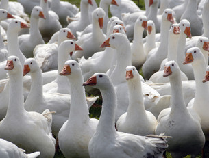 freewheeling geeseの素材 [FYI00838179]