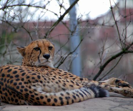 cheetah in the cityの写真素材 [FYI00838190]