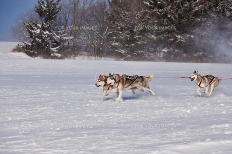 huskiesの素材 [FYI00838199]