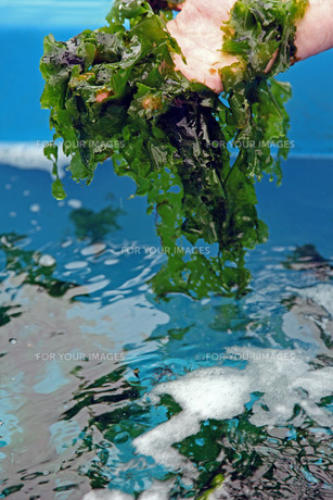culture of sea lettuce (ulva lactuca)の写真素材 [FYI00838484]