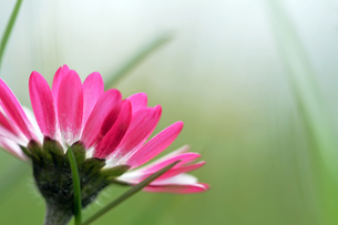 the pink daisiesの写真素材 [FYI00838926]