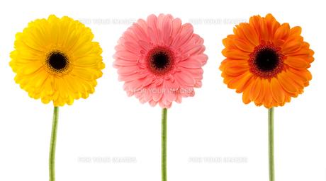 collection gerbera daisyの写真素材 [FYI00839050]