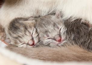 newborn kitten day 1の写真素材 [FYI00839626]