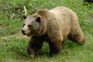 brown bear in bavarian forest national parkの写真素材 [FYI00839938]