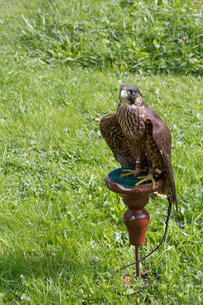 falconの写真素材 [FYI00840013]
