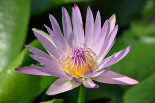 lotusの写真素材 [FYI00840431]