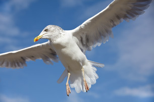 closeup of a seagull in flight against a blue skyの写真素材 [FYI00840788]