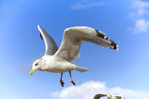 gulls in flight against a blue skyの写真素材 [FYI00840790]