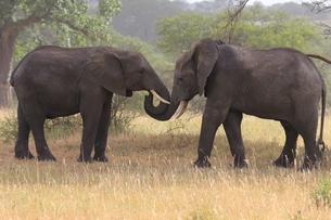elephantsの素材 [FYI00840986]