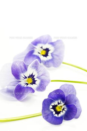 plants_flowersの素材 [FYI00841603]