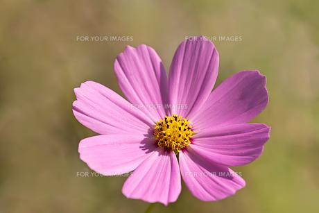 bloom in purpleの素材 [FYI00841919]