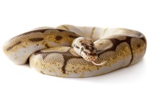 snake snake boa snake with white backgroundの写真素材 [FYI00842488]