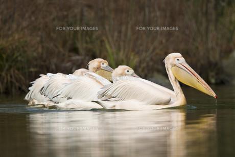 white pelican (pelecanus onocrotalus)の写真素材 [FYI00842568]