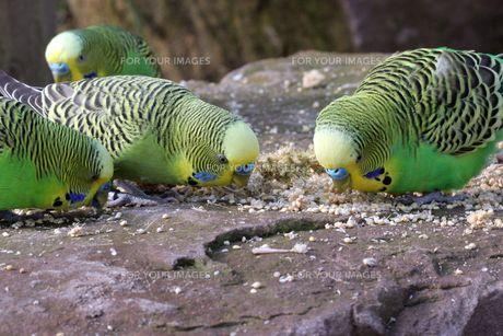 four-eating green budgies in tierpark sababurgの写真素材 [FYI00842758]