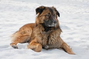caucasian shepherd dog in winterの写真素材 [FYI00843326]