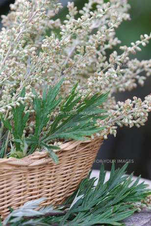 mugwort (artemisia vulgaris) medicinal herbの写真素材 [FYI00843767]