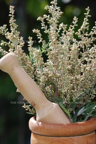 mugwort (artemisia vulgaris) medicinal herbの写真素材 [FYI00843804]