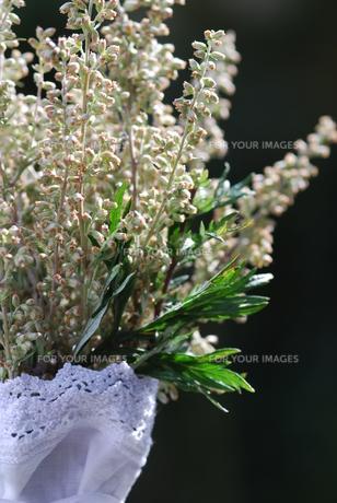 mugwort (artemisia vulgaris) medicinal herbの写真素材 [FYI00843808]