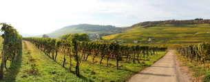 vineyard on the upper moselleの写真素材 [FYI00843821]
