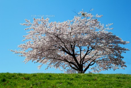 cherry blossoms in springの素材 [FYI00843928]