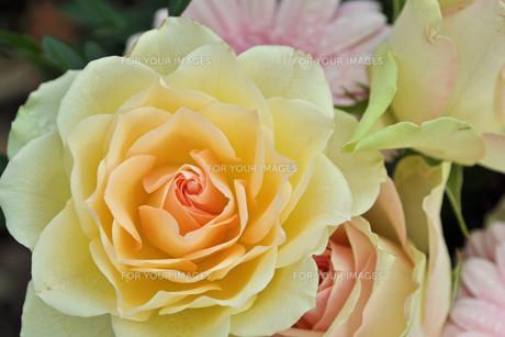 roseの写真素材 [FYI00843975]