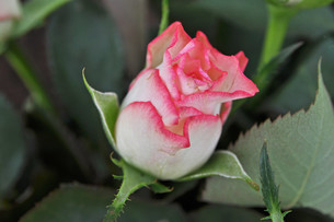 roseの写真素材 [FYI00843994]