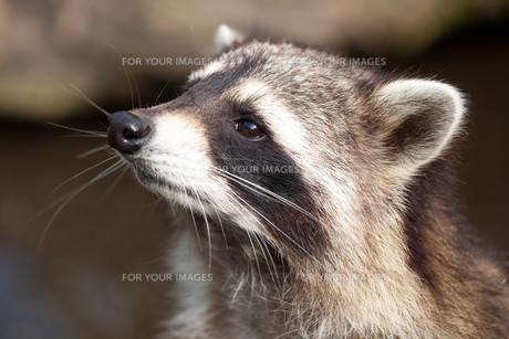 racoonの素材 [FYI00843996]