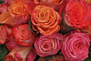 roseの写真素材 [FYI00844030]