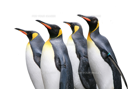 king penguins at the zooの素材 [FYI00844074]