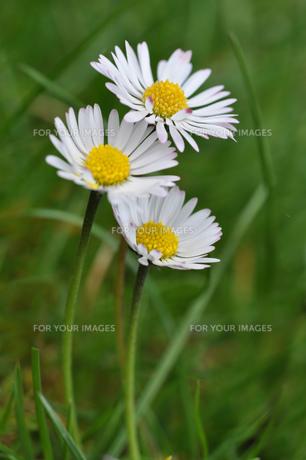 daisyの写真素材 [FYI00844309]