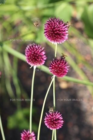 allium purple sphaerocephalon ball leekの素材 [FYI00844860]