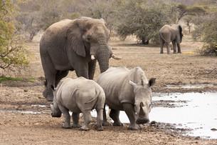 elephant (loxodonta africana) at the waterholeの写真素材 [FYI00844916]