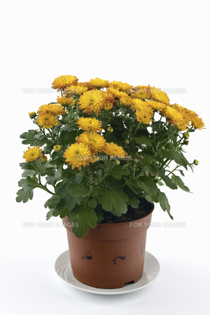 chrysanthemumsの素材 [FYI00845091]