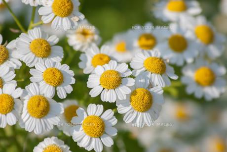 plants_flowersの写真素材 [FYI00845411]