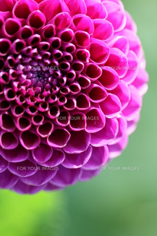 deep purple dahlia patrickの写真素材 [FYI00845511]