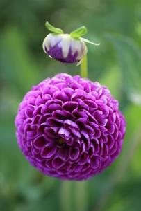 deep purple dahlia patrickの写真素材 [FYI00845526]