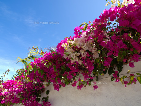 flowering promenadeの写真素材 [FYI00845665]