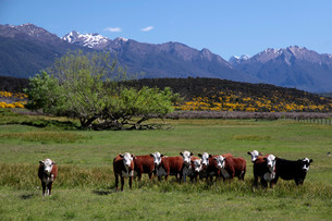 cattle herd in the eglinton river valley at the milford road,southland,south island,new zealandの写真素材 [FYI00845866]
