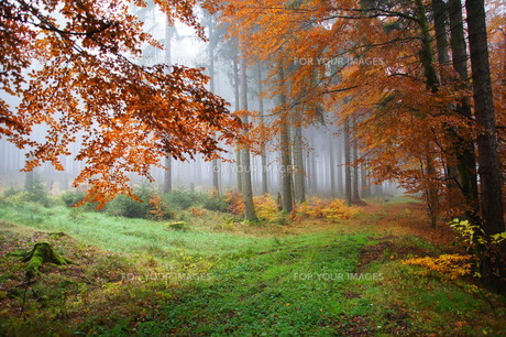 colorful autumn forest in the fogの写真素材 [FYI00846788]