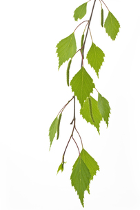 one birch leaf (betula)の写真素材 [FYI00846798]