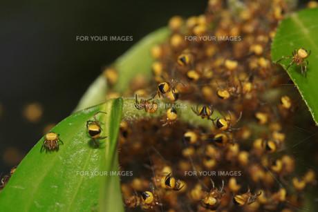 juveniles of the garden spiderの素材 [FYI00846898]
