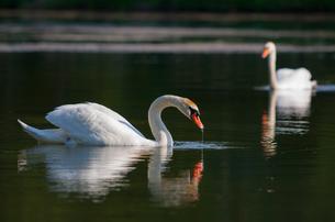 swansの素材 [FYI00847316]