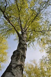 birchの写真素材 [FYI00847549]