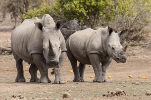 white rhinoceros (ceratotherium simum)の写真素材 [FYI00847842]
