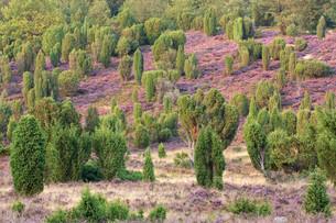 l?neburg heath,stone ground at wilsede,blooming heather with juniperの写真素材 [FYI00848342]