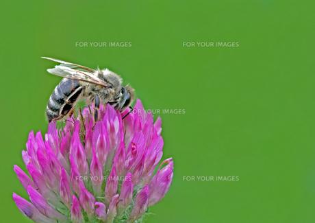 honey bee on red cloverの写真素材 [FYI00848648]