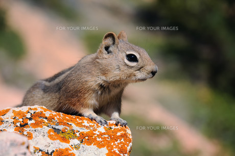 chipmuk - spotted and lined in bryce canyon :-)の写真素材 [FYI00850433]